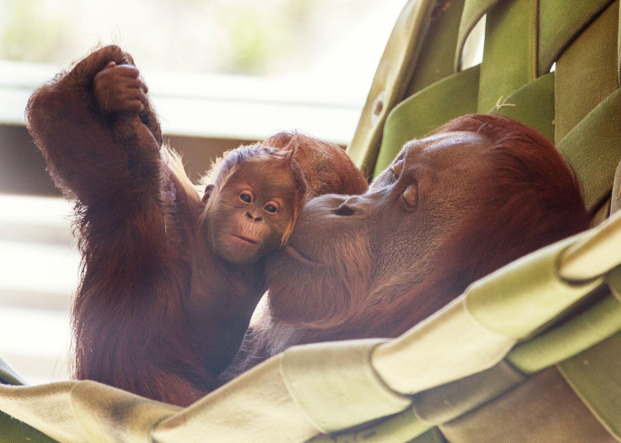 New Little Dear For The Indianapolis Zoo Indianapolis Zoo Zooborns Sumatran Orangutan