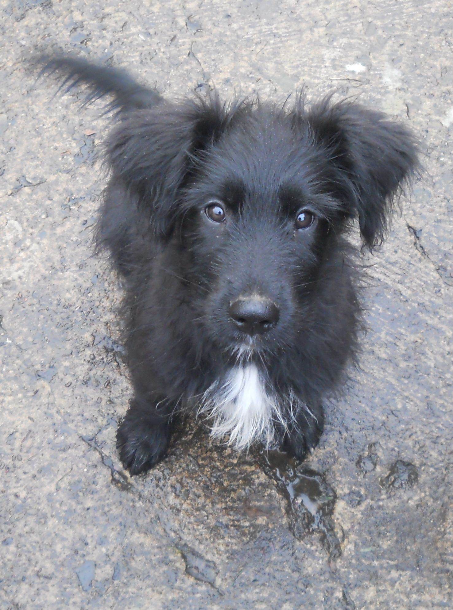 border collie briard mix dogs dogs cute dogs cute