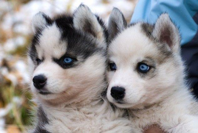 Puppy Pals Pomsky Puppies Cute Husky Puppies Cute Husky