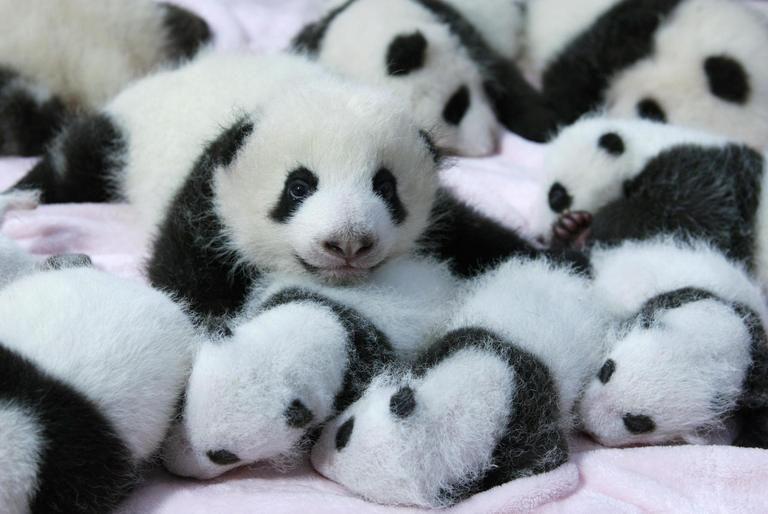 Giant panda cubs lie in a crib at Chengdu Research Base of Giant Panda Breeding in Chengdu, Sichuan province, September 23, 2013. Fourteen new joiners to the 128-giant-panda-family at the base were shown to the public on Monday, according to local media.