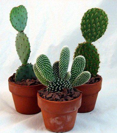 Amazon Com Prickly Pear Cactus Collection Opuntia 3 400 x 300