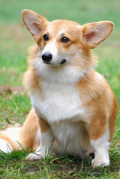 Cardigan Corgi Dog Corgi Pembroke Corgi