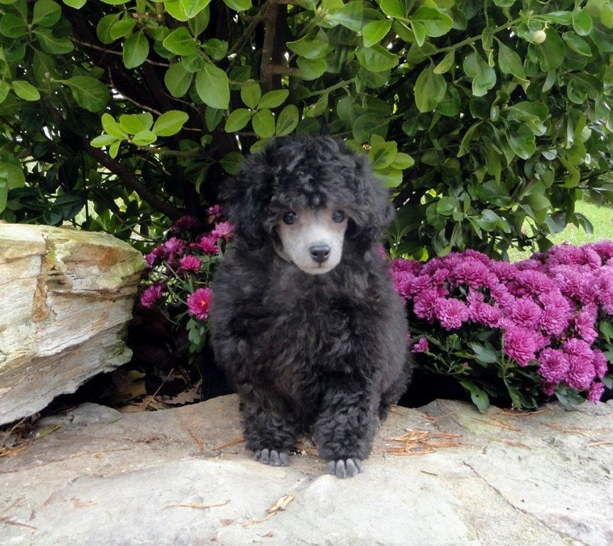 Charming Male Toy Poodle Puppylovely Silver Male 9 Weeks