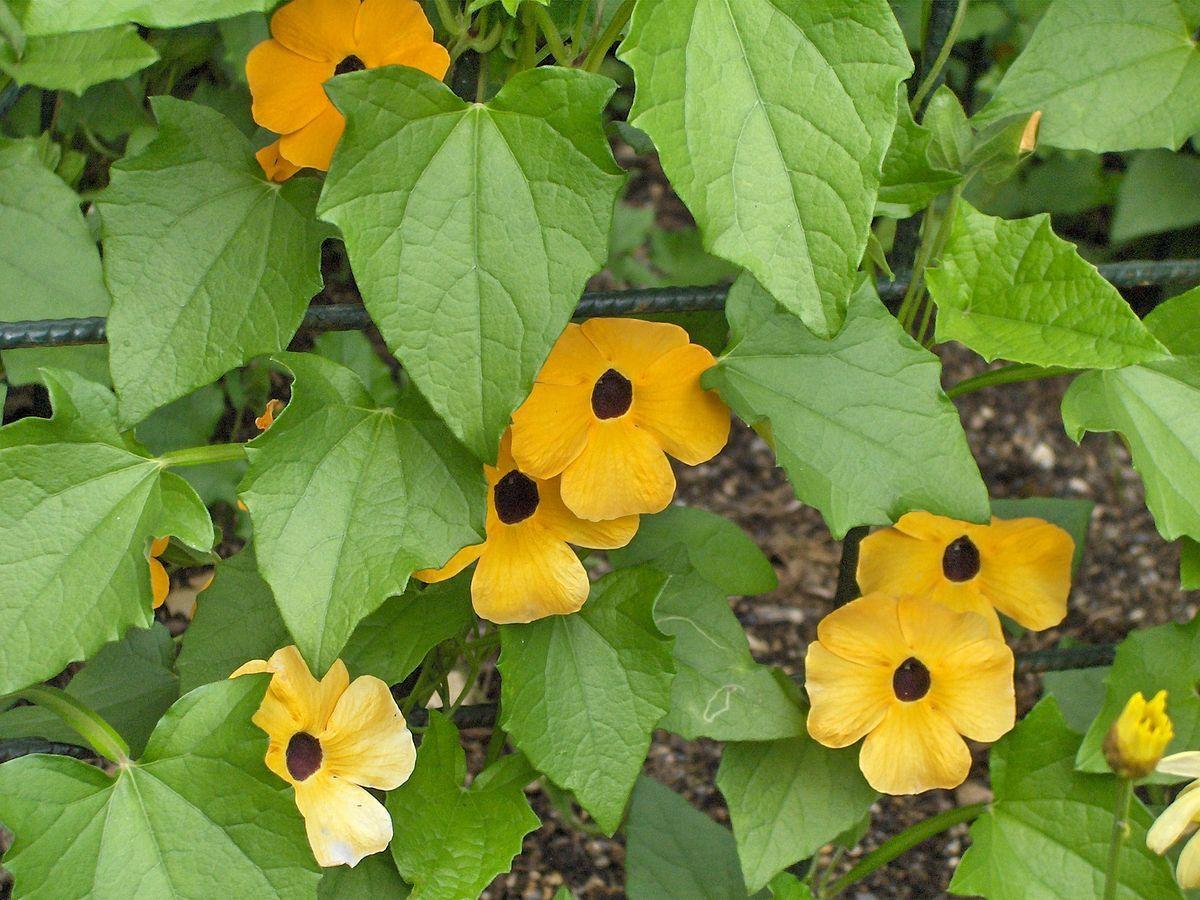 Thunbergia Wikipedia Flowering Vines Black Eyed Susan Vine Trees To Plant