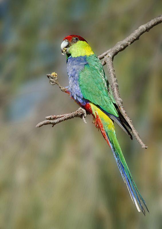 Red-capped Parrot (Purpureicephalus spurius