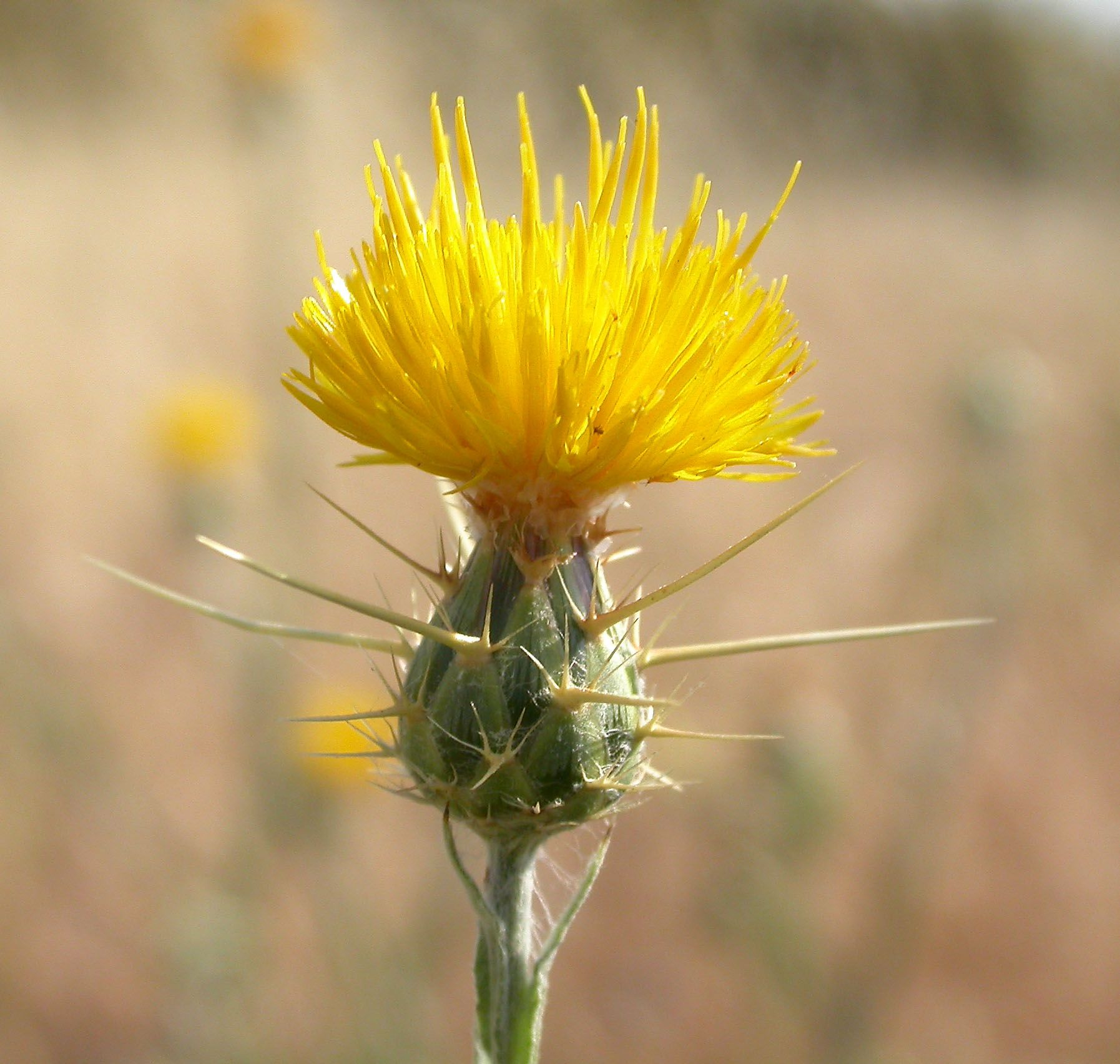 Pin By Ohitekah On Thistle Pinterest Plants Flowers And
