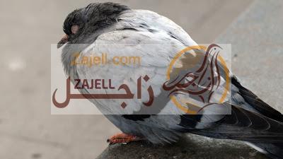 ما هو علاج مرض الكنكر البلعومي للحمام نوفر لكم اليوم من خلال موقع زاجل In 2020 Pigeon Diseases Animals Bird