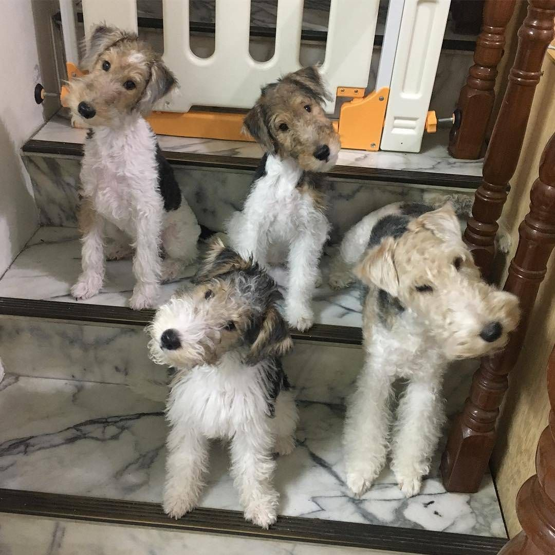 1,139 Likes, 23 Comments - Wire Fox Terrier Lovers ...