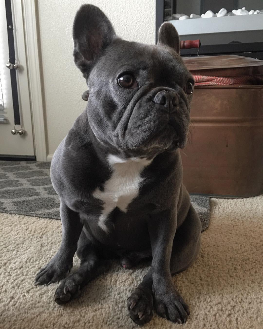 Cream French Bulldog Puppy Now Living In Oregon French Bulldog