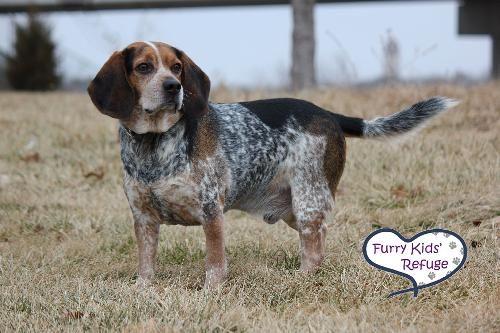Adopt Kc On Adoptable Beagle Pets Beagle