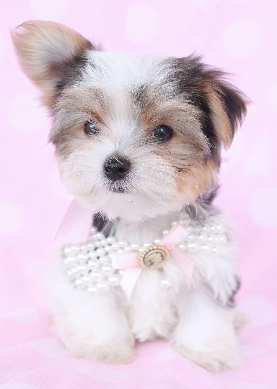 Biewer Yorkie Puppies For Sale Florida Yorkie puppy