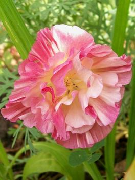 ⚜ Ultimate Poppy Lot 50 mixed seeds ❀1 time Auction❀ Peony -Venus -Oriental -California -Red Corn ⚜