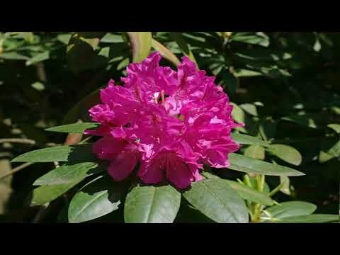Rhododendron Woody Plants In The Heath Family Ericaceae Plants Flowers Garden Plants