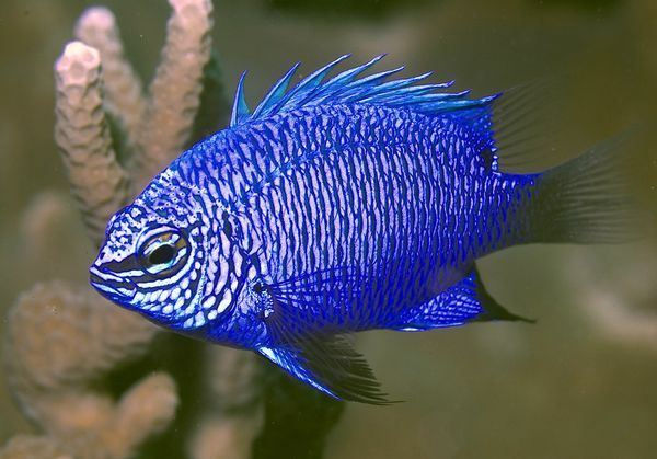 'Striking' Damsel fish, Chrysiptera cymatilis is one of 1,060 new species found on or near the island of New Guinea (see map) between 1998 and 2008. #Damsel_Fish #National_Geographic #New_Guinea