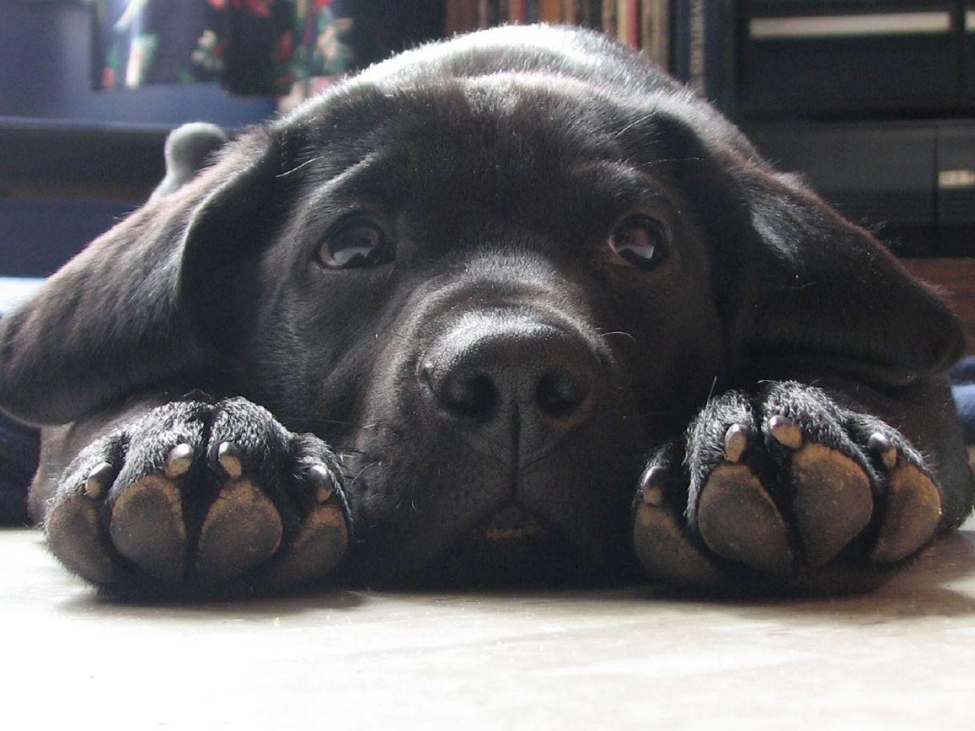 Black lab puppy- look at those big feet!