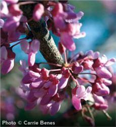 American Redbud Eastern Redbud Redbud Tree Eastern Redbud Tree