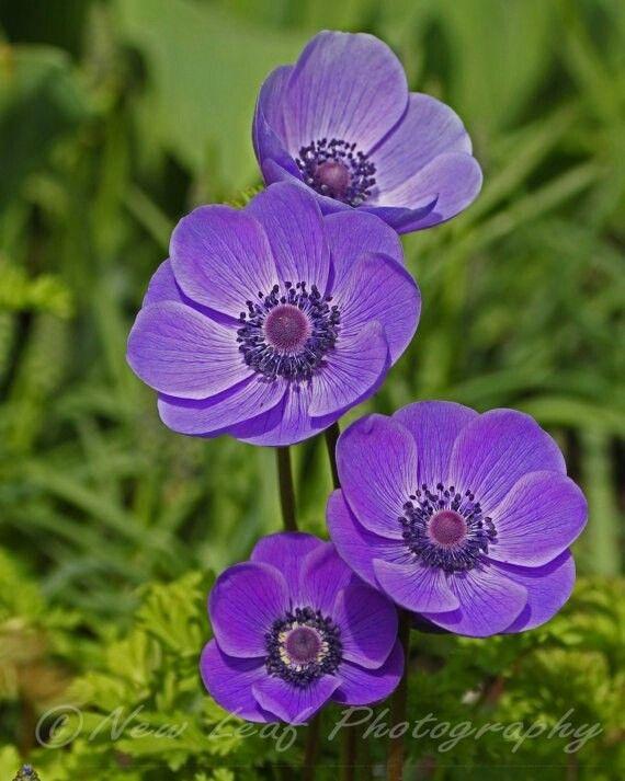 Pin By Candelaria Eddirleiph On Flores Purple Flowers Purple Garden Anemone Flower