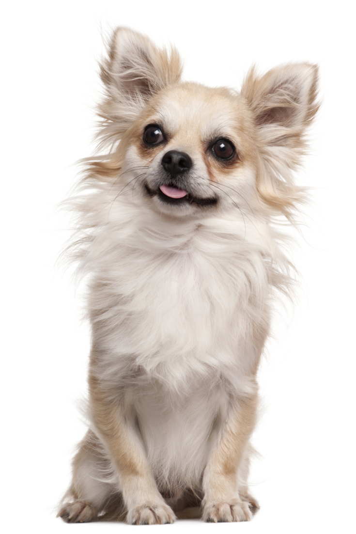 Chihuahua 2 Years Old Sitting In Front Of White Background Chihuahua Chihuahua Chihuahua Dogs Chihuahua Puppies