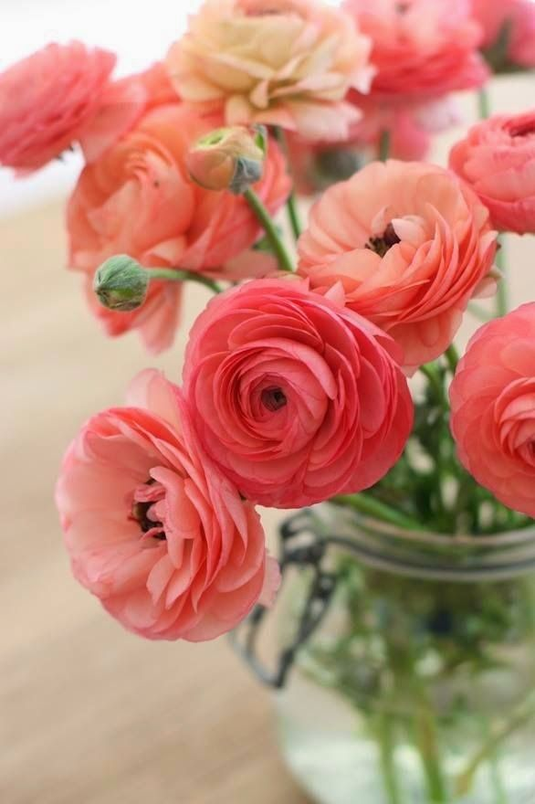 Coral Ranunculus A1 Pictures Flowers Beautiful Flowers Pretty Flowers