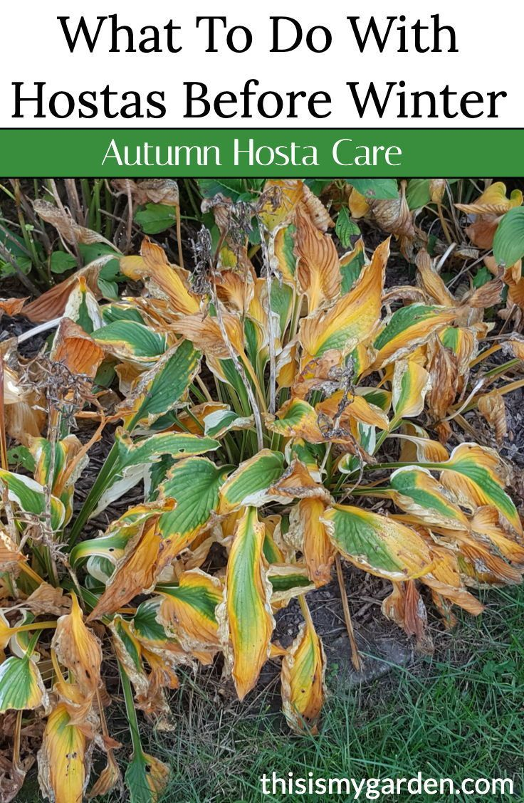 Fall Hosta Care - What To Do Before Winter