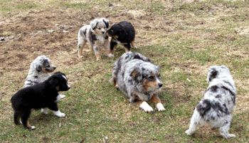 Saddle Up Stables Miniature Toy Australian Shepherds And American Quarter Horses Ad Toy Australian Shepherd Australian Shepherd Puppies Australian Shepherd