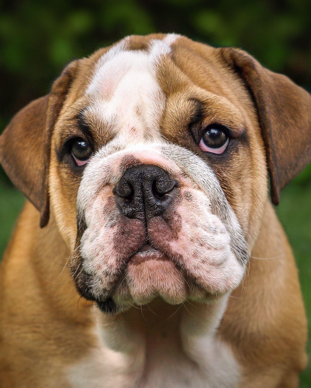Englische Bulldoggen Fasst Man Am Besten Als Niedliche Riesen Zusammen Hunderassen Hunde Rassen Beliebte Hunderassen