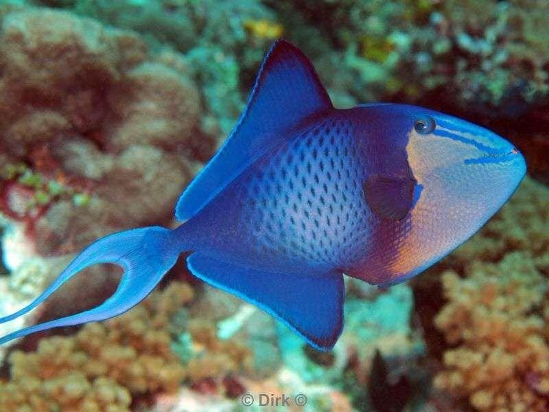 Trigger Fish Animaux Faune Et Flore Animaux Marins