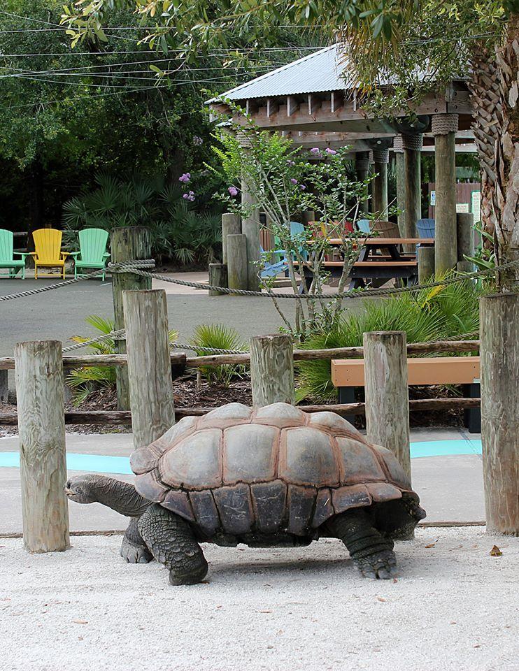 Olha quem está fazendo a caminhada matinal no #Gatorland  Adquira o cartão Go Orlando e garanta uma visitinha no Gatorland.  http://www.parques-e-ingressos.com.br/cartao-go-orlando