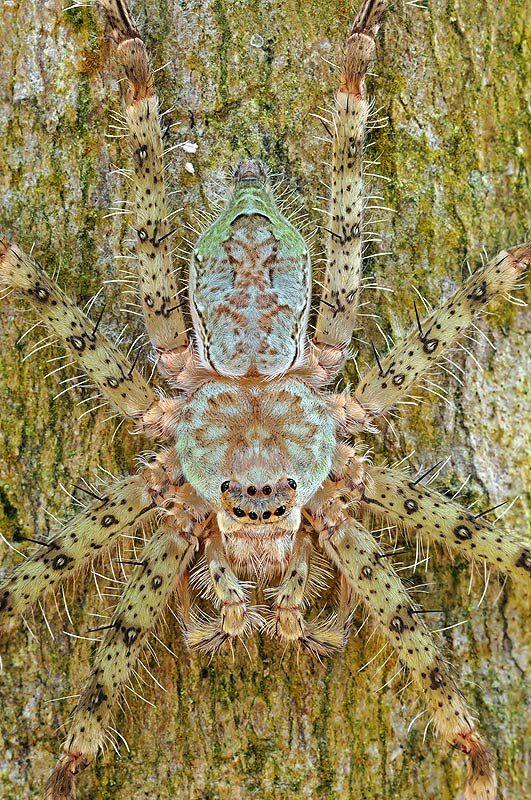 Lichen Huntsman Spider by Yan Leong - Disguise