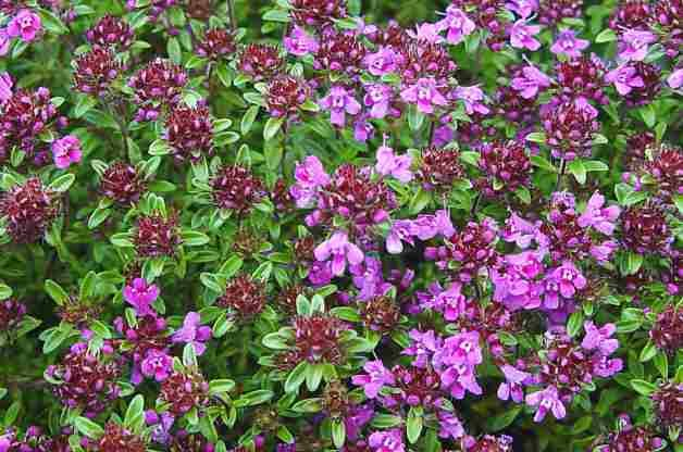 colorful groundcovers can fill large areas with low