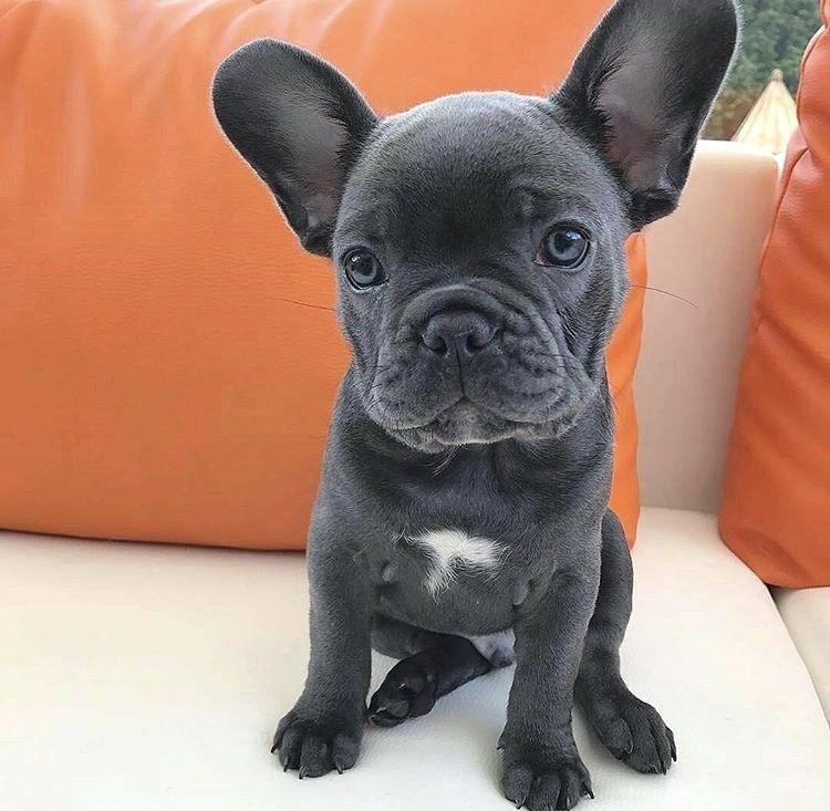 Muuuuha Muuuuha Bulldog Puppies French Bulldog Puppies Blue