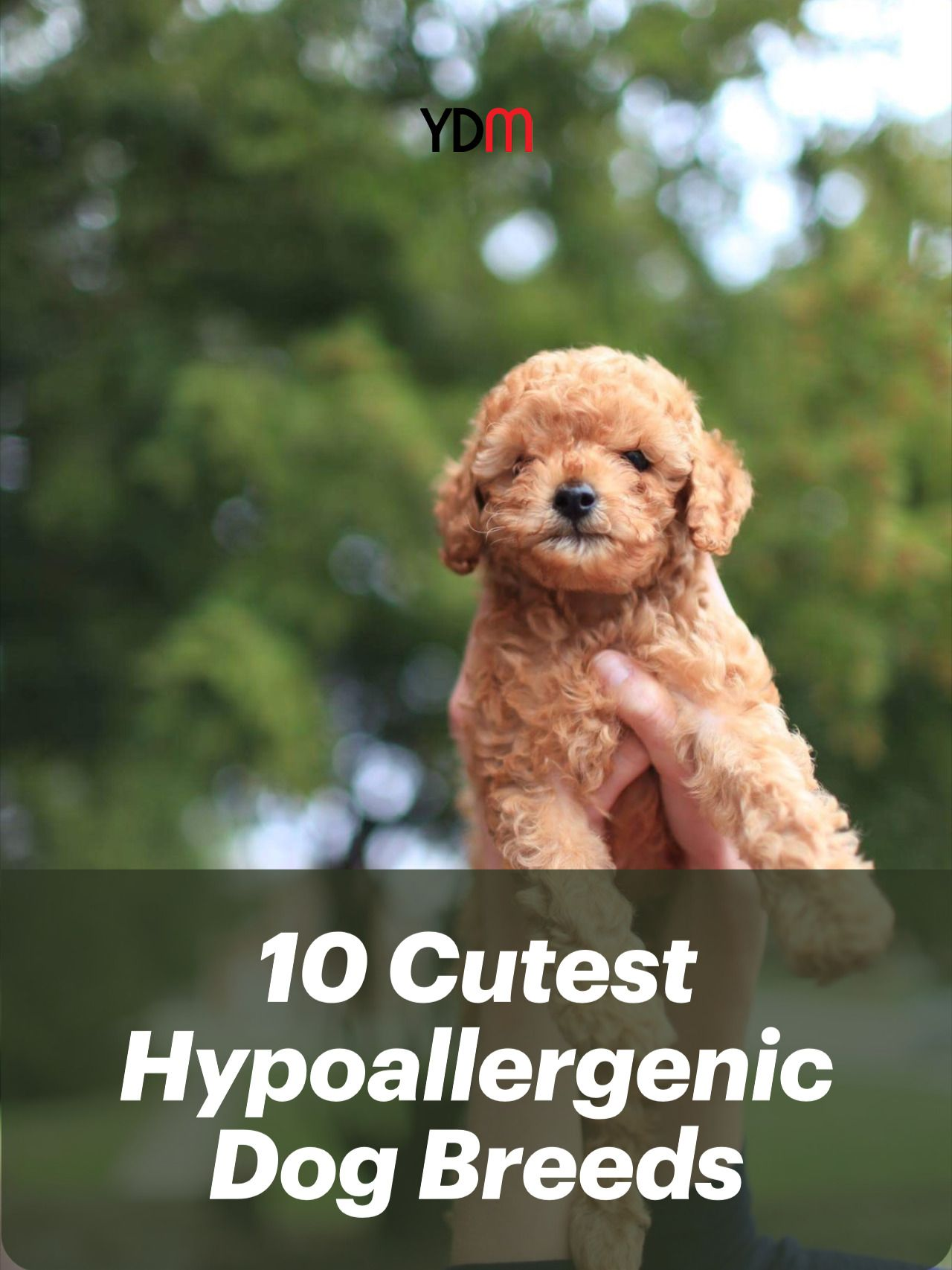 10 Cutest Hypoallergenic Dog Breeds You Can Own In 2020 Hypoallergenic Dogs Hypoallergenic Dog Breed Dog Breeds