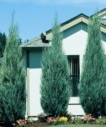 Skyrocket Juniper (Juniperus scopulorum 'Skyrocket') - Monrovia - Skyrocket Juniper (Juniperus scopulorum 'Skyrocket')