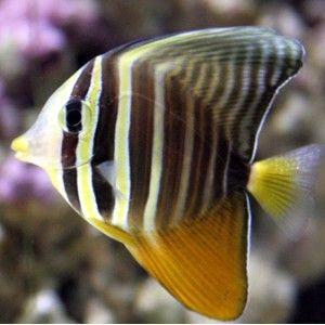 Sailfin Tang He Looks Sweet But Looks Are Deceiving Saltwater Fish Tanks Salt Water Fish Beautiful Tropical Fish