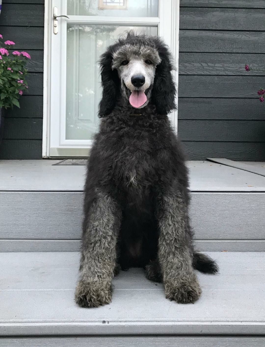 Lola At 4 Months Old Standard Poodle Poodle Puppies