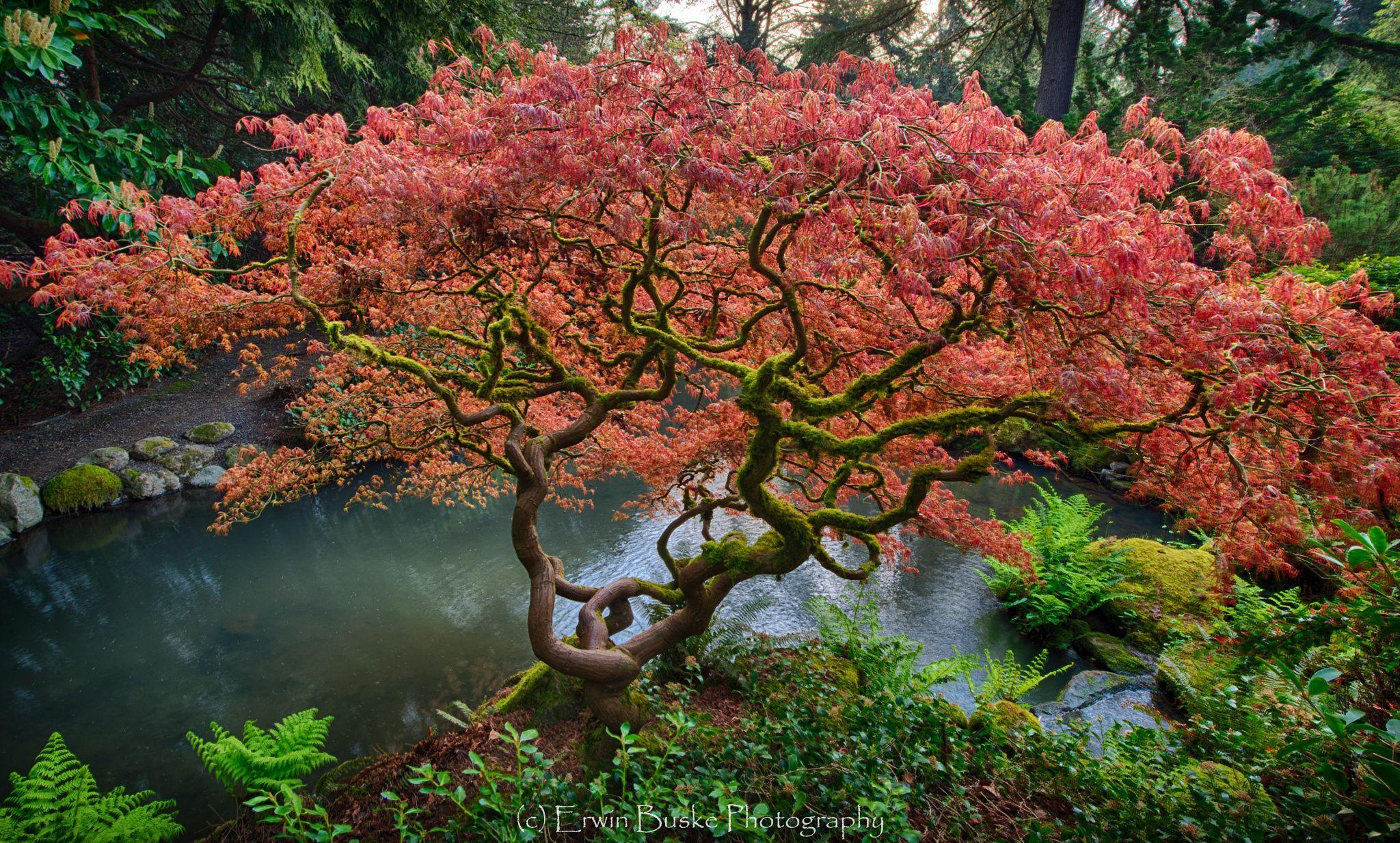 Kubota Japanese Maple ... Fresh red leaves of Spring adorn the ...