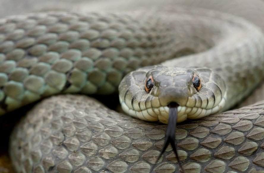 ما هو تفسير ابن سيرين لرؤية الثعابين الصغيرة في المنام موقع مصري In 2021 Snake Rattlesnake Kinds Of Snakes