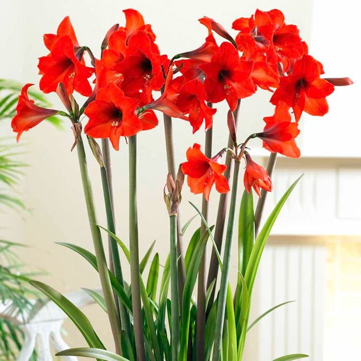 Lovely Red Orchids Amaryllis Bulbs Amaryllis Flowers Sutton Seeds