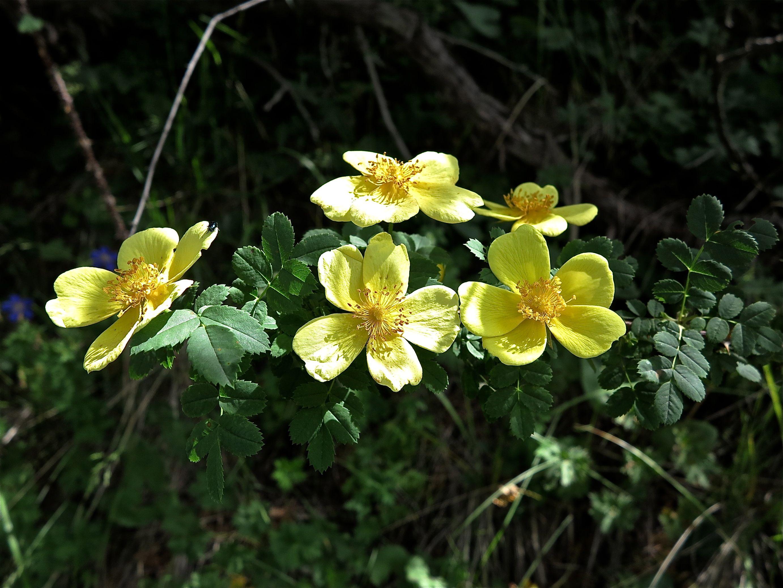 Rosaceae Plant
