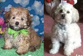 Why A Maltipoo Dog Will Change Color As He Matures Photos And