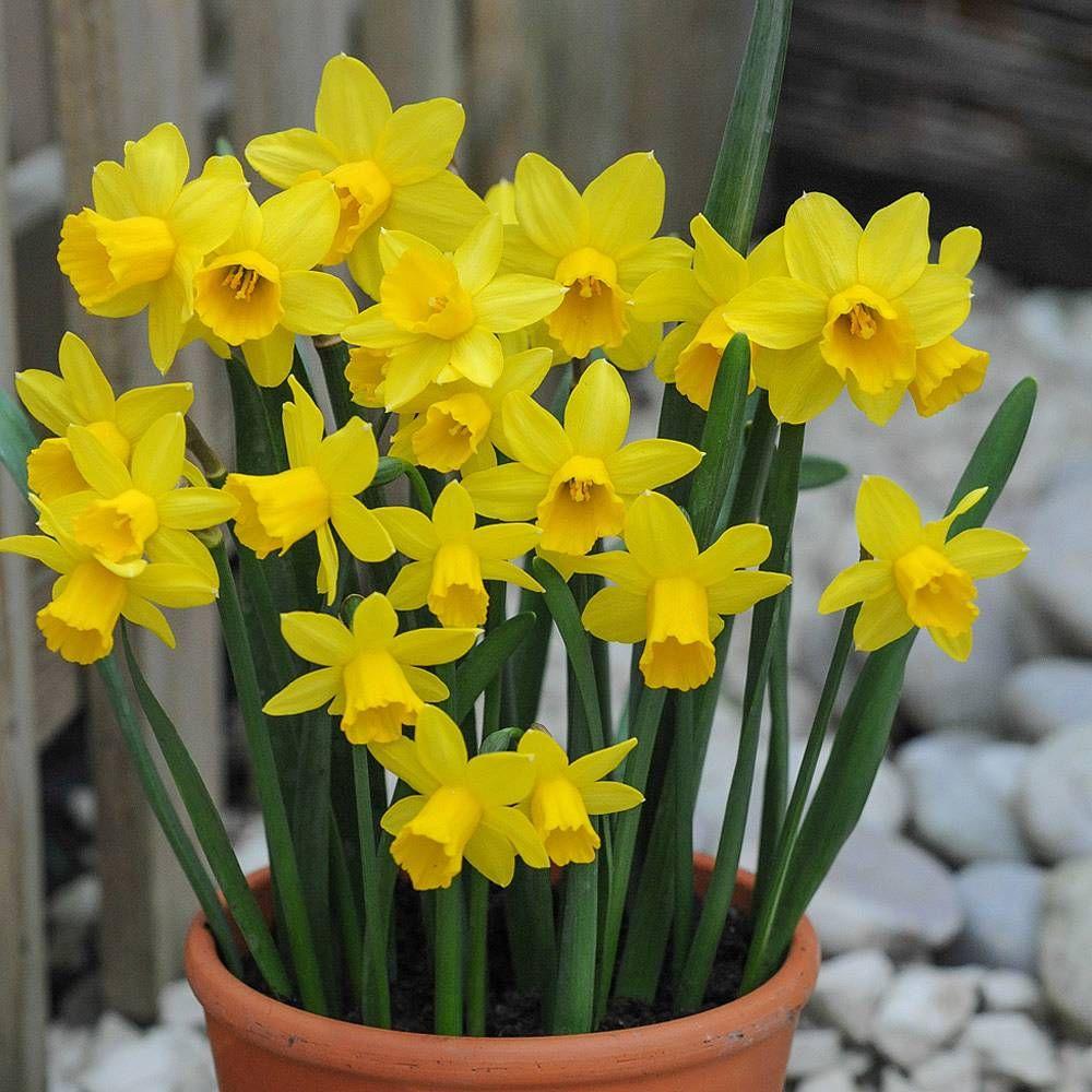 Daffodil TteTteNarcissus  Daffodils  Rockery