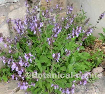 Que es el toronjil planta medicinal