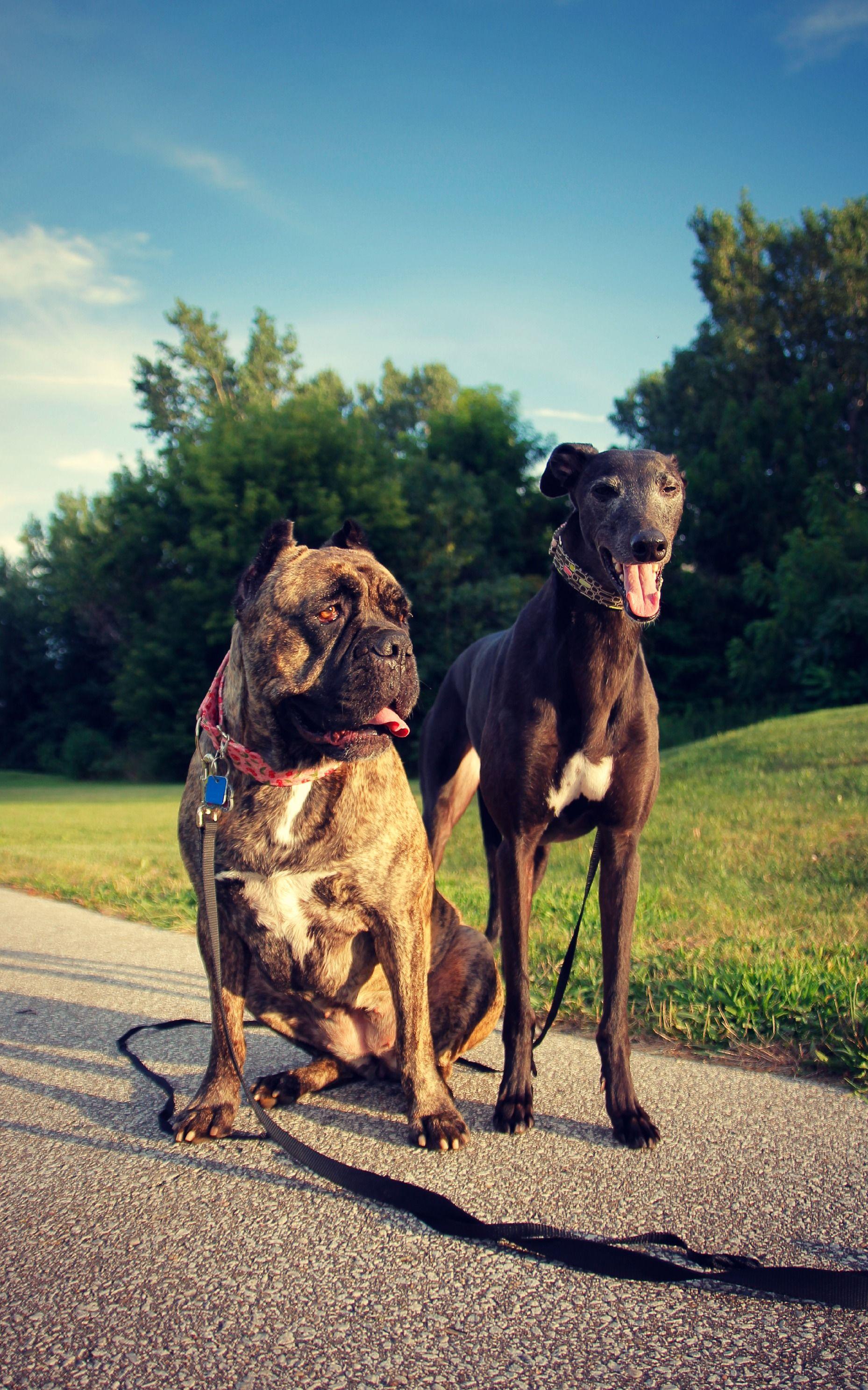 Bella the greyhound. And Cleo the italian mastiff enjoying