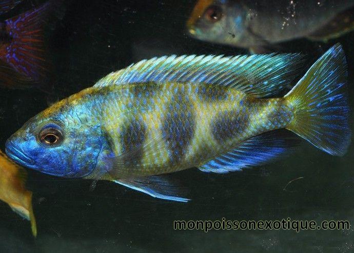 NIMBOCHROMIS Venustus 3-4CM lot de 3 - CICHLIDES AFRICAINS/CICHLIDES LAC MALAWI - monpoissonexotique.com - Aquariophilie, poissons et plantes d'aquarium en ligne