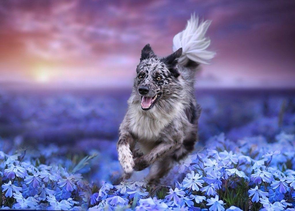 Border Collie Dog Run Meadow Wallpaper Dogs Dog Wallpaper Dog Photos
