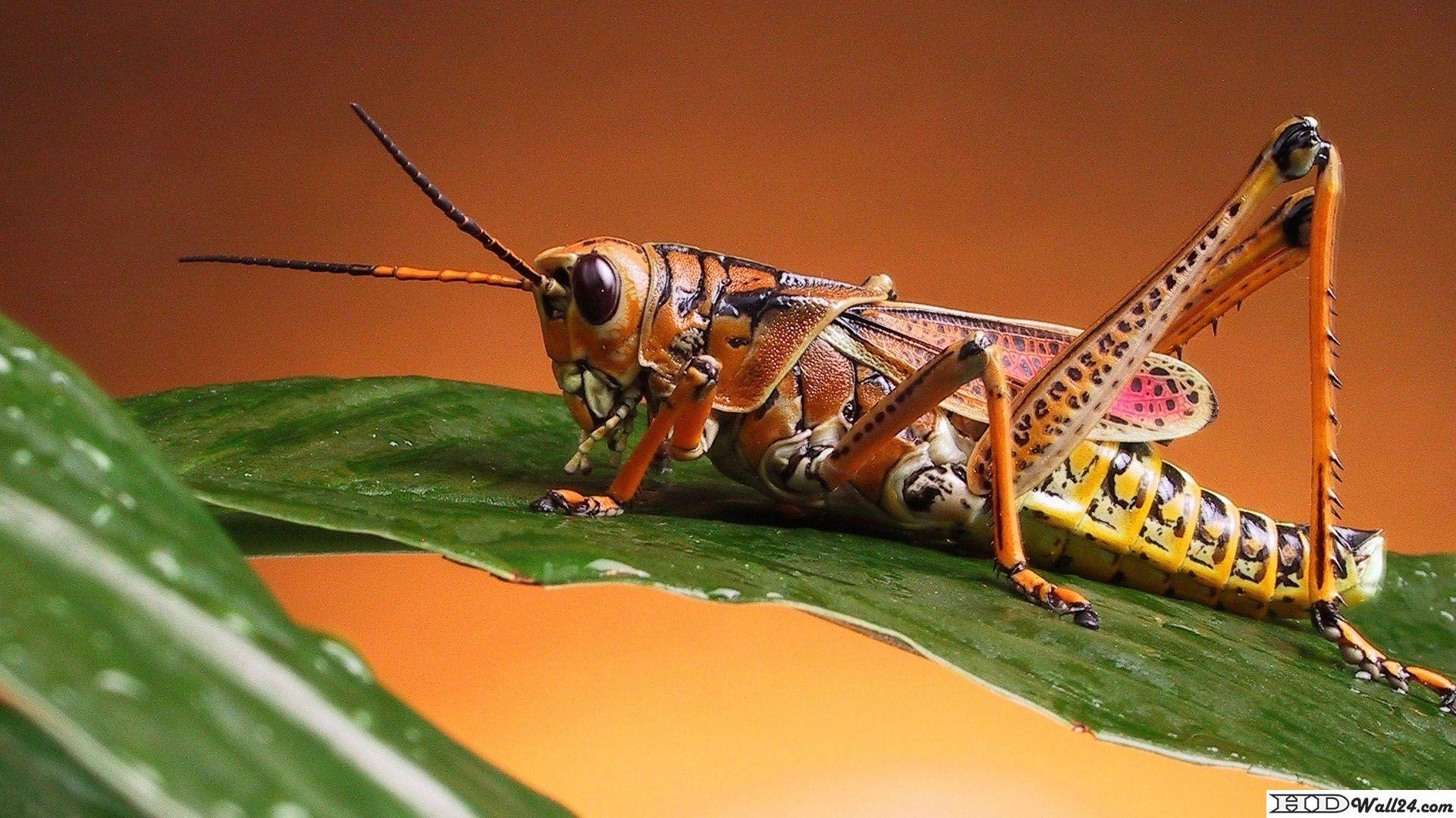 grasshopper wallpapers | free hd wallpaper download | http