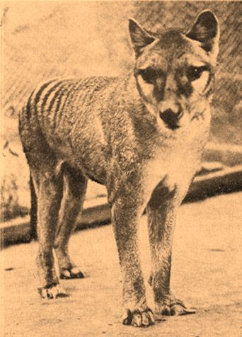 A few months ago I started researching the Tasmanian Tiger of thylacine. They are the most beautiful animals I just wish they weren't extinct.