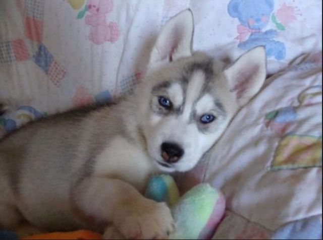 Pin By Abbie Harris On Pomsky Puppies Pomsky Puppies Puppies