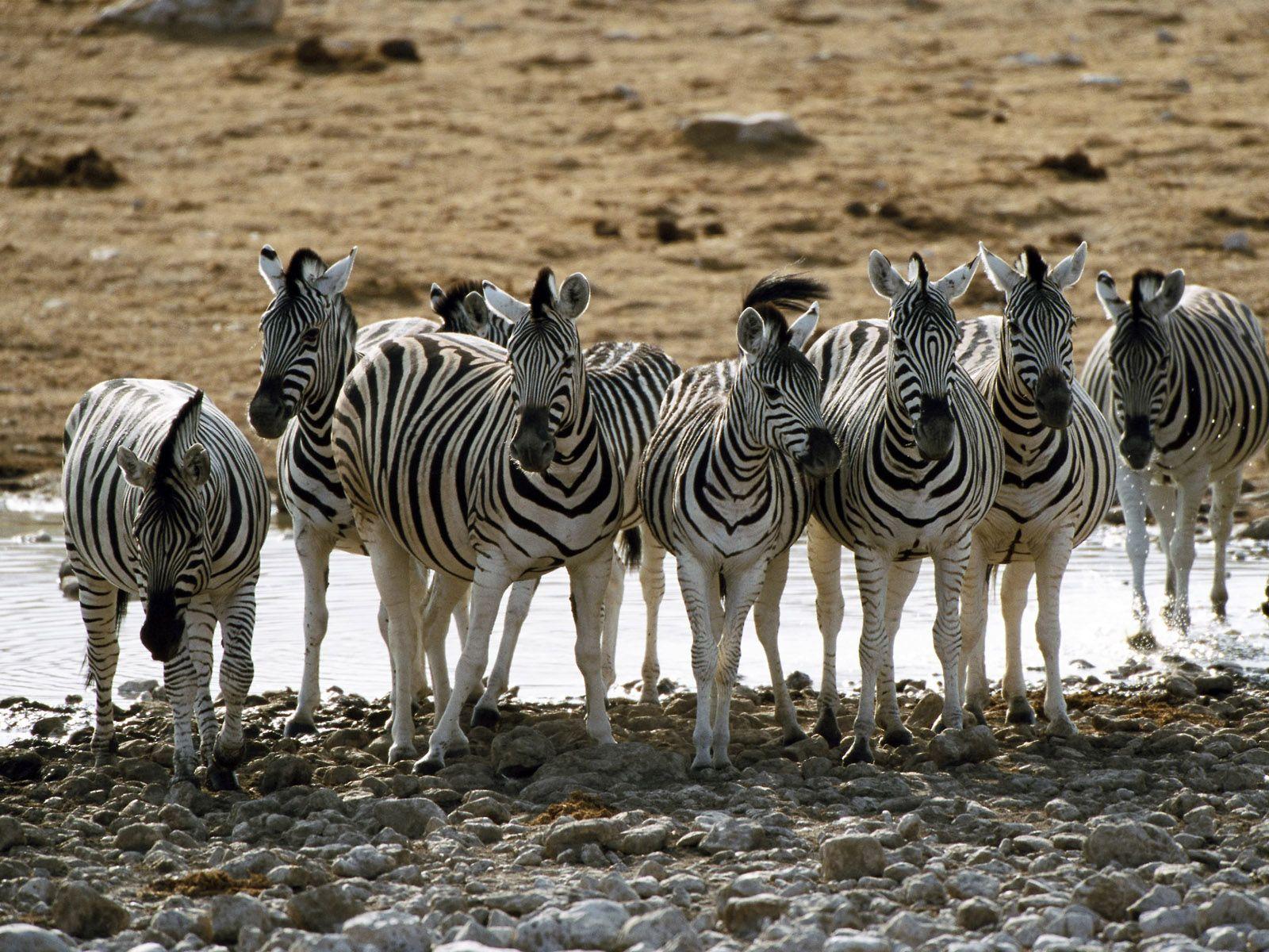 manada de zebras nomes coletivos pinterest donkey