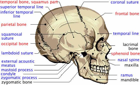 diagram of facial skeleton |  of human cranium - atlas of human, Human Body